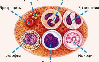 Палочкоядерные нейтрофилы понижены: причины отклонения от нормы