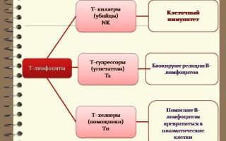 Виды лейкоцитов в крови и их функции