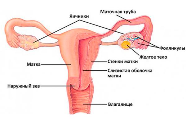 Норма размеров матки по УЗИ при беременности и после родов