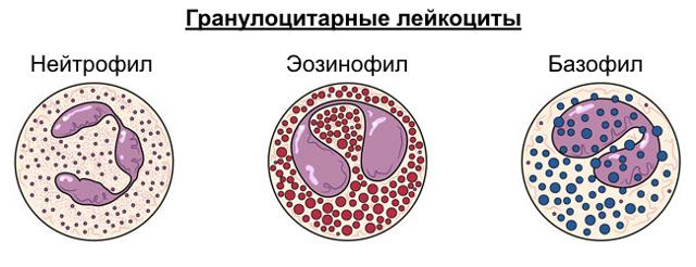 Гранулоциты в крови: что это такое, норма, виды