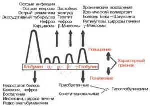 Фракции белков крови в биохимическом анализе: что это такое, расшифровка