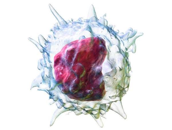 Моноциты в крови: за что отвечают, функции, норма