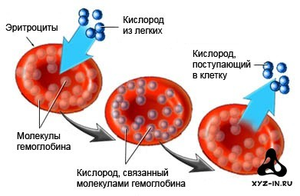 Виды гемоглобина в крови человека: функции, диагностика