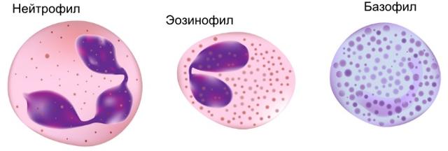 Незрелые гранулоциты повышены или понижены что это значит причины отклонений