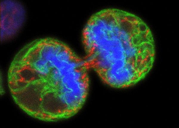 Сегментоядерные нейтрофилы: норма, что это такое и за что отвечают?