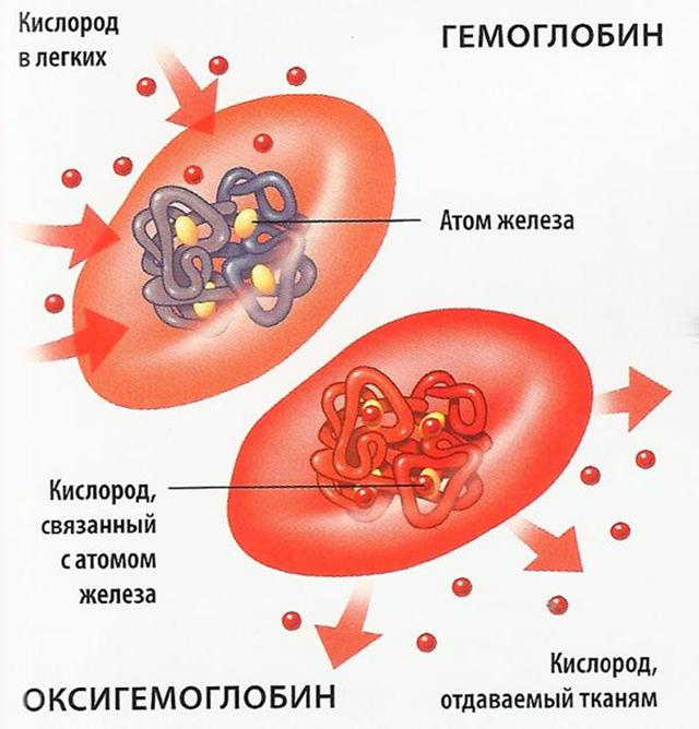 Функции гемоглобина: строение, за что отвечает?