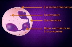 Нейтрофилы в крови: функции, что это такое, обозначение в анализе, норма