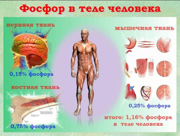 Фосфор в крови: норма, функции, причины отклонений