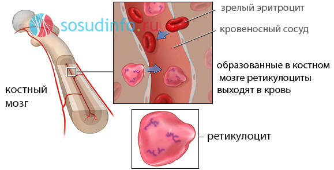 Обозначение ретикулоцитов в анализе крови