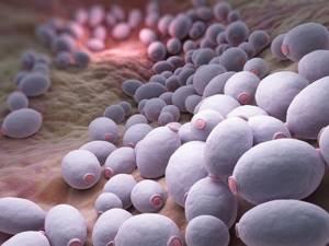 Псевдомицелий дрожжевых грибов в мазке